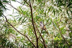 20160327-133523_AdelaideNationals2016_D7100_2196.jpg (Foster's Lightroom) Tags: birds au australia adelaide southaustralia lorikeets zoos cleland crafters clelandwildlifepark