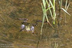 Kwaak (1) (HOMCN) Tags: water amsterdam duck nest gras schiphol raaf eend vogel kikker hoen kraai fuut waterhoen kwaak waterkip sloor roek