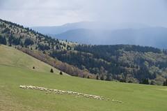 Sheep in Vek Fatra (s.chivers) Tags: mountains slovensko slovakia vekfatra
