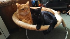 Taz and Leeloo. (julzz2) Tags: cats pets animals mycats felines cutecats blackcats gingercats pussycats animalfaces catlovers playingcats catsfaces felinefaces petsfaces blackcatsfaces