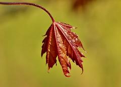maple leaf.......................... (Suzie Noble) Tags: garden maple mapleleaf mapletree strathglass struy