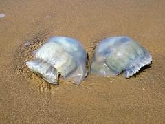 Aguamala, Medusa [Sea Jellie] (Hydrozoa medusae) (barloventomagico) Tags: medusa marcaribe caribbeansea aguamala neotropic neotrpico estadoanzotegui lagunadepritu norestedevenezuela seajellie hydrozoamedusae