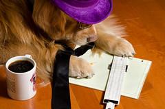 Slide Rule (bztraining) Tags: bzdogs bztraining 3662016 henry odc dogchal golden retriever