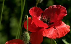 Common Poppy - Papavero Rosolaccio (Papaver rhoeas)_011 (by emmeci) Tags: flora fiore pianta
