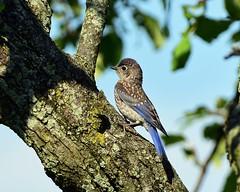 DSC_8290=1Bluebird (laurie.mccarty) Tags: bluebird juvenilebluebird nature nikond810 nikon bluebirdintree wildlife bird avian easternbluebird