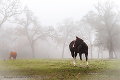 college-station-12-24-2015-8763 (m.torkildsen) Tags: horses fog collegestation