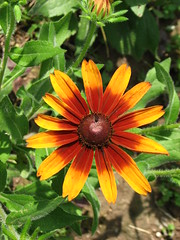 Gloriosa Daisy (AmyWoodward) Tags: rudbeckia gloriosadaisy fantasticflower