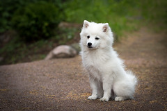 Japanese Spitz (Juho Mkinen) Tags: dog puppy japanese spitz white young canon 5d cute animal