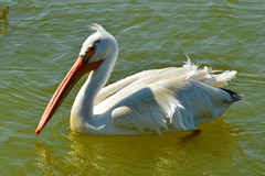 American White Pelican, Texas, Kleberg County, Texas, Padre Island National Seashore (EC Leatherberry) Tags: gulfofmexico texas wildlife nationalparkservice americanwhitepelican pelecanuserythrorhynchos padreislandnationalseashore klebergcounty