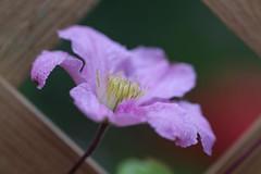 Clematis Piilu (haberlea) Tags: pink plant flower green nature garden one 1 petals clematis trellis single oneflower clematispiilu