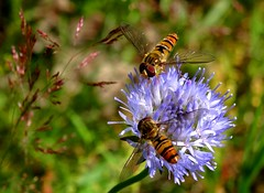 Synchronicity (yantrax) Tags: flowers flower nature floral colors closeup insect pattern dof bokeh outdoor natur hell insects makro insekt muster tier schrfentiefe hoverflies heiter organischesmuster