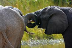 Elephants in Moremi - Botswana (sophie.pereira) Tags: africa park lake playing elephant love nature water animal delta safari elephants botswana moremi okavango