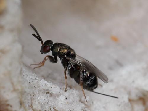 Erzwespe, ein Parasitoid am Insekten-Hotel
