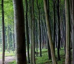 Jasmunder Buchenwald II (kairemwatt) Tags: forest rgen bume buchen wlder jasmund beechforest nationalparkjasmund