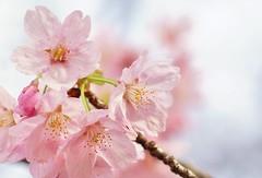 Cherry var.Youkou (Ryo 2013) Tags: japan tokyo ngc npc  sakura cherryblossoms  shinjyuku