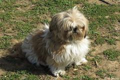 010909 - Perro (M.Peinado) Tags: copyright animal canon perro perros animales 2015 canonpowershotsx60hs 03042015 abrilde2015