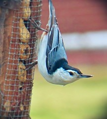 White-Breasted Nuthatch (MissyPenny) Tags: blue birds peanuts nuthatch whitebreastednuthatch backyardbirds peanutfeeder southeasternpa northeastbirds birdsinpennsylvania northamericannuthatch