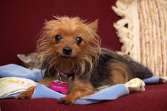 Rose (tracy.henegar) Tags: dog pet animal blackandbrown