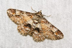 Geometrid Moth (Cleora sp., Ennominae, Geometridae) (John Horstman (itchydogimages, SINOBUG)) Tags: china macro insect moth lepidoptera geometridae ennominae yunnan onwhite trap itchydogimages sinobug
