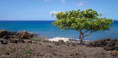 black lava, white corrals, a tree (Briskin B.) Tags: white black tree hawaii lava rocks waimea corral tatsunis