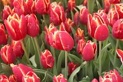 IMG_3484 (Gkmen Kmrt) Tags: flower tulip 2015 amlca laleler