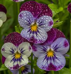 Viola (Bill Varney) Tags: flower macro rain viola billvarney