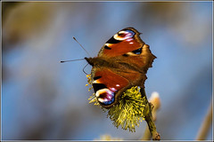 Peacock Butterfly (Aglais io) on a Salex (Pussy Willow) flower (Smudge 9000) Tags: uk nature butterfly norfolk reserve titchwell rspb 2015 paeacock aglaisio