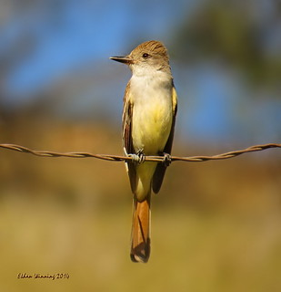 Ash-throated Flycatcher 4091