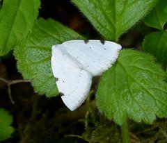 Spotted White-pinion Lomographa bimaculata.  Geometridae (gailhampshire) Tags: spotted whitepinion lomographa bimaculata taxonomy:binomial=lomographabimaculata geometridae explored