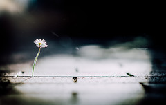 Life will find a way (Tim RT) Tags: life blur nature way lens tim nikon bokeh walk g 85mm daisy among 18 find rt between bricked outdor nikon85mmf18 d810