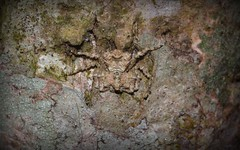Stephanopis sp. (dustaway) Tags: nature rainforest australia camouflage nsw arthropoda crabspider rotarypark arachnida lismore australianwildlife araneae araneomorphae thomisidae australianspiders northernrivers crypsis stephanopis stephanopinae