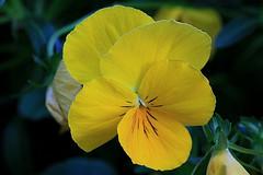 Yellow Pansy Macro (hbickel) Tags: flower macro yellow canon pansy pad photoaday macrolens canont6i