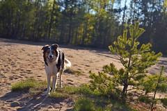DSC_1694T (juliannahiaasen) Tags: portrait dog pet dogs animal training photography bordercollie australianshepherd dogphotography dogtraining dogportrait dogphotographer