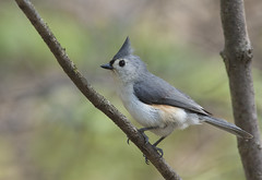 Tufted Titmouse (Jerry Ting) Tags: ohio tuftedtitmouse whippsledges hinckleyreservation