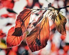spellbound (***toile filante***) Tags: life light red sun sunlight tree rot nature licht spring warm dof bokeh natur leafs sonne bltter baum leben frhling sonnenlicht wrme