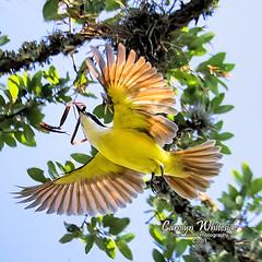 Kisskadee in Flight