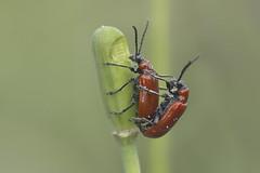 At work... (Niek Goossen) Tags: orange spring oranje multiplication multiply voorjaar voortplanting leliehaantjes lilioceruslili