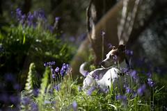 Woodland Flare (Stuart_Byles) Tags: flowers light dog sunlight bluebells woodland jack russell bokeh outoffocus flare