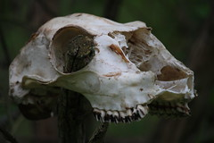 skull (Salamanderdance) Tags: forest skull ominous teeth deer bones hanging bone eyesockets