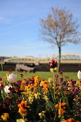Cannon Flowers (Karl's Photography) Tags: bridge flowers spring tulips rochester tulip cannon rochesterbridge