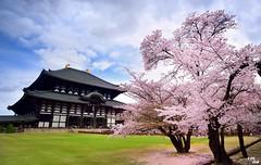 (Clonedbird  & Iris ) Tags: flower japan cherry spring nikon kyoto blossom   sakura nara       2016     d810