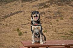 4mai_Thorbjorn_005 (Stefn H. Kristinsson) Tags: dog mountain dogs iceland spring hiking may ma vor hundur sland ganga fjallganga tamron2875mm grindavk hundar grindavik orbjrn nikond800 thornbjorn orbjarnarfell