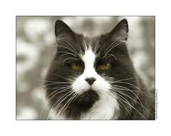 P1140220 (cowsandgirl71) Tags: portrait bw pets monochrome animal cat chat noiretblanc vert panasonic poil couleur bokey fz200 slective