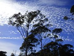 Mackerel sky (Sandy Austin) Tags: blue newzealand sky tree clouds mackerel auckland northisland eucalyptus gleneden westauckland sandyaustin panasoniclumixdmcfz70