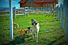 Mommy and sons (Love me tender .**..*) Tags: life family light sun motion dogs colors animals puppy greek photography day village bright earth country greece planet 2016 dimitra trikala korinthias trikalakorinthias     nikond3100 kirgiannaki  littledoglaughedstories