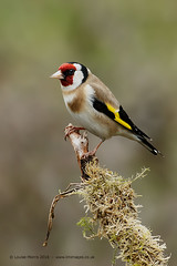 Goldfinch (Louise Morris (looloobey)) Tags: snow sunshine rain hail alan scott goldfinch rich hide perch lichen nigel sleet cardueliscarduelis april2016 scotland2016 aq7i7557