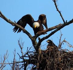 Dad flying up to his throne. (Metallicat923) Tags: county baby tree nature forest illinois nest eagle bald raptor batavia kane preserve birdofprey eaglet mooseheart