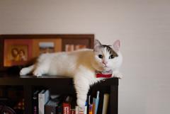 lou/study (Nazra Zahri) Tags: pet male home japan cat raw sitting tabby indoors munchkin hanging okayama 2016