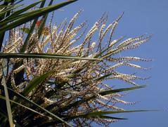 Cordyline australis (G.Forst.) Endl. 1833 (ASPARAGACEAE) (helicongus) Tags: spain cordyline cordylineaustralis asparagaceae jardnbotnicodeiturraran