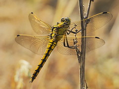 Gr Blaupfeil Orthetrum cancellatum 160523-1897 _Herrensee_SOOC2_ (Pixel-Cat) Tags: dragonfly olympus libelle omd skimmer odonata libellulidae anisoptera strausberg em5 sooc segellibellen herrensee orthtetrum mzuiko75300mmf4867ii blaufpeil